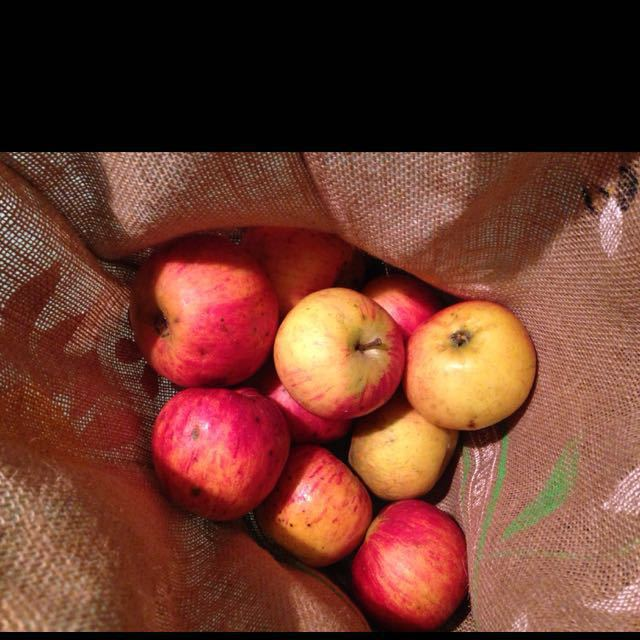 10 big hand picked cooking apples