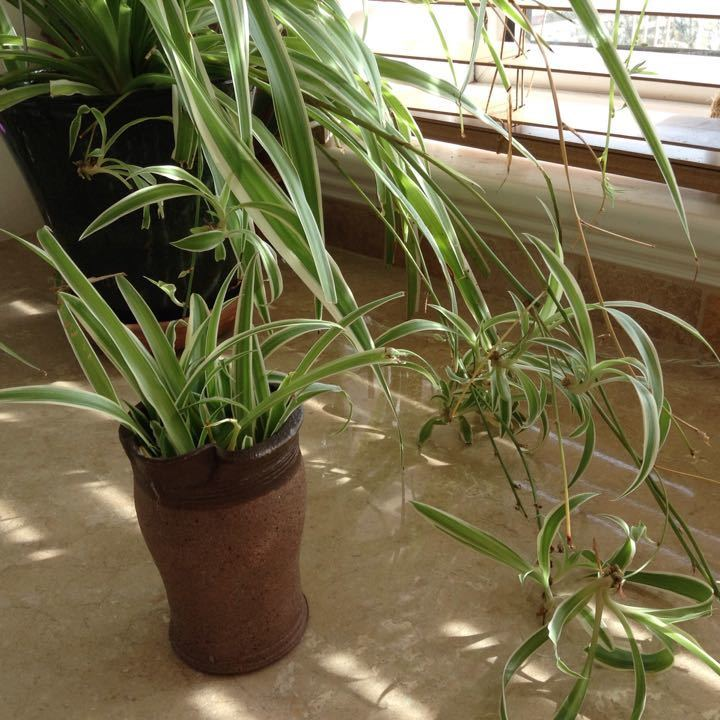 Baby Spider plant cuttings.