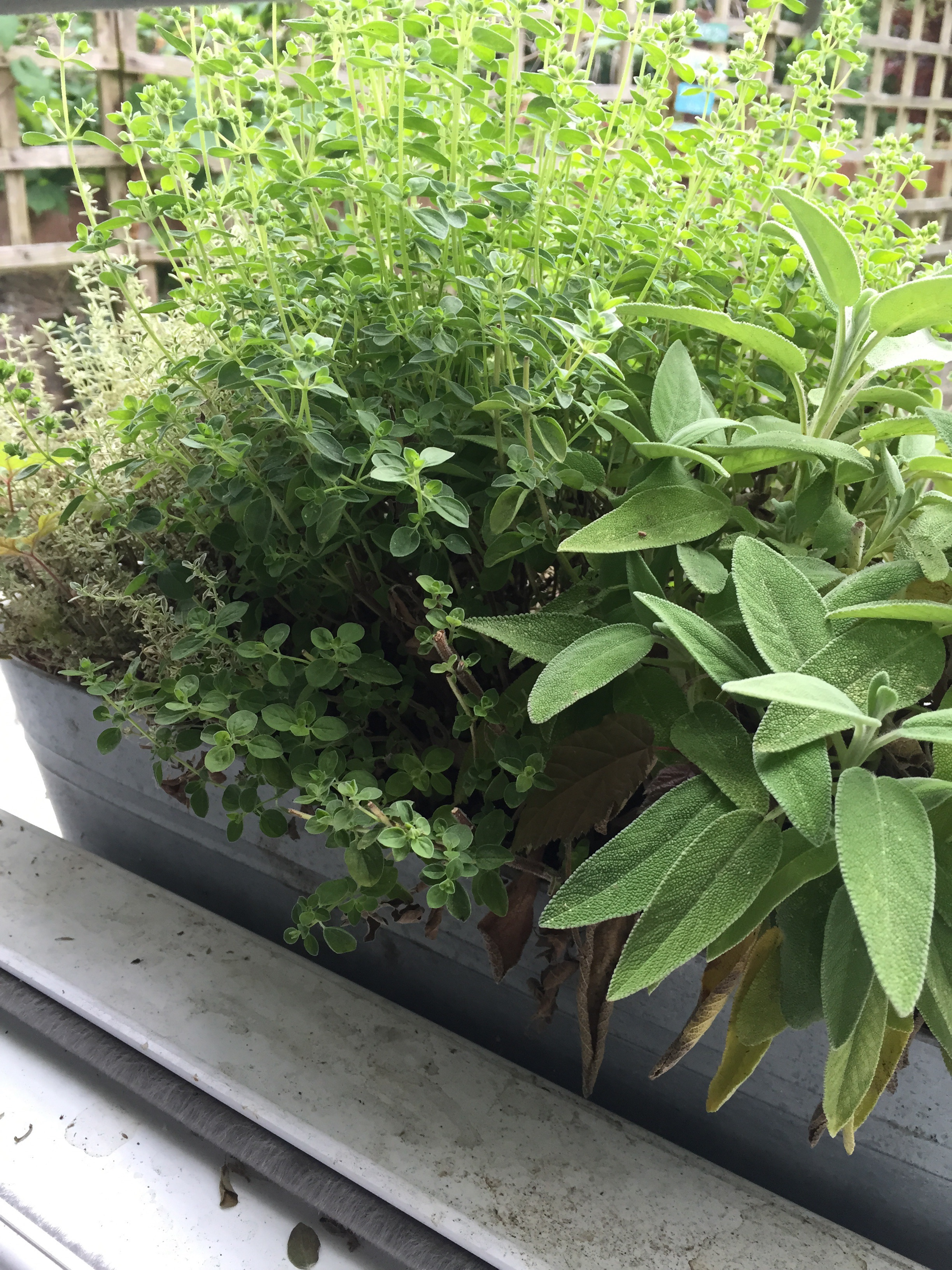 Thyme, Oregano and Sage