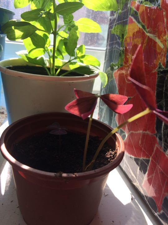 Oxalis/butterfly Plant/prayer plant