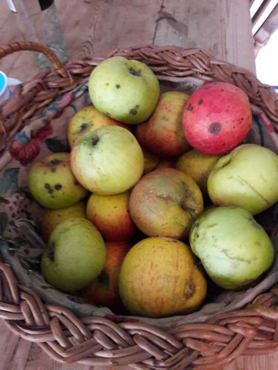 12 eating apples.