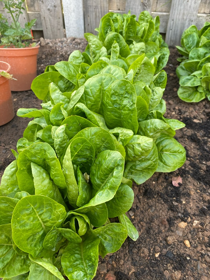 Homegrown spare lettuce