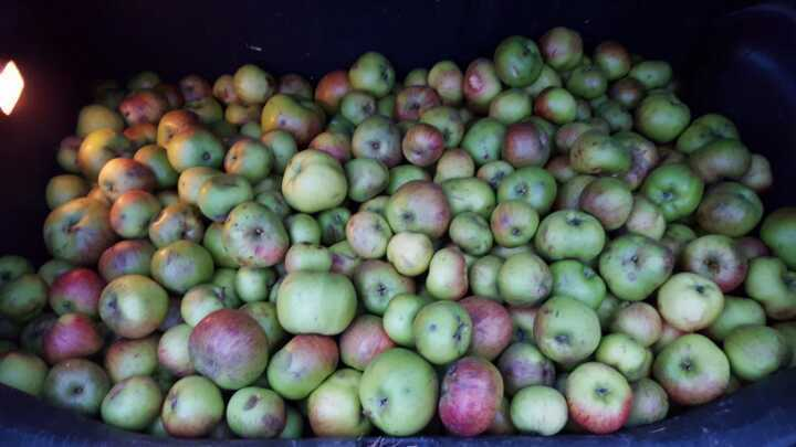 Meanwhile back in Crouch End - Even more Bramley cooking apples