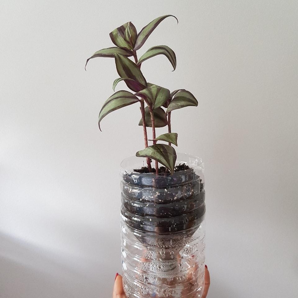3x cuttings of tradescantia zebrina violet