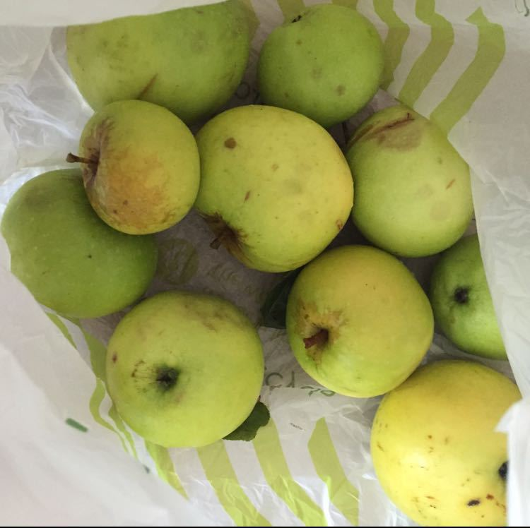 Bag of cooking apples from tree in garden..