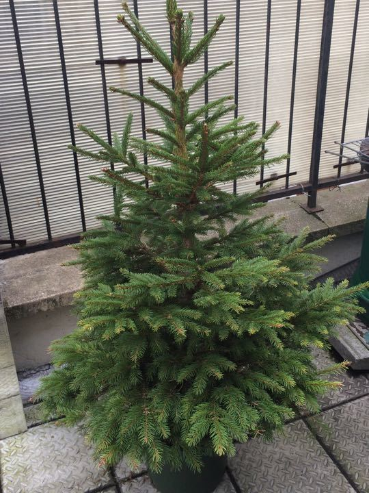 Fir tree in a pot