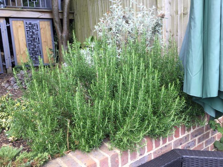 Fresh Rosemary...