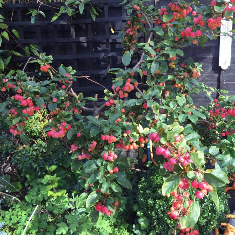 Organic Crab apples- pick your own