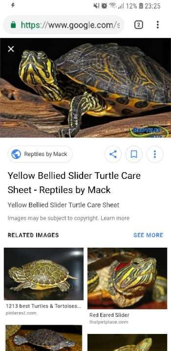 Yellow belly turtle slider