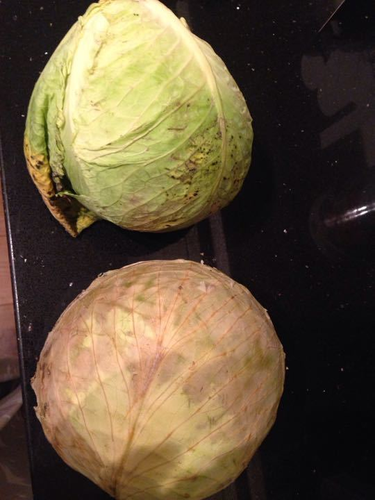 Two large whit cabbages