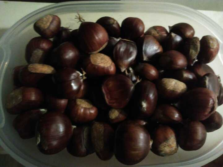Wild chestnuts collected 3 days ago