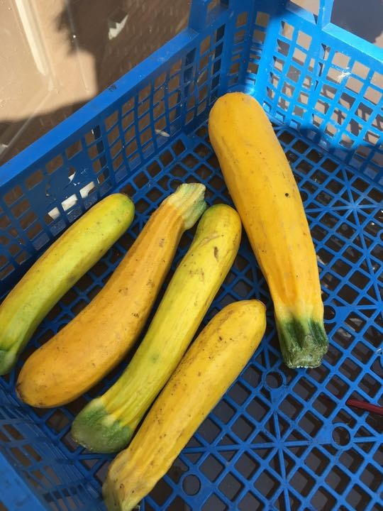 5 small yellow courgettes