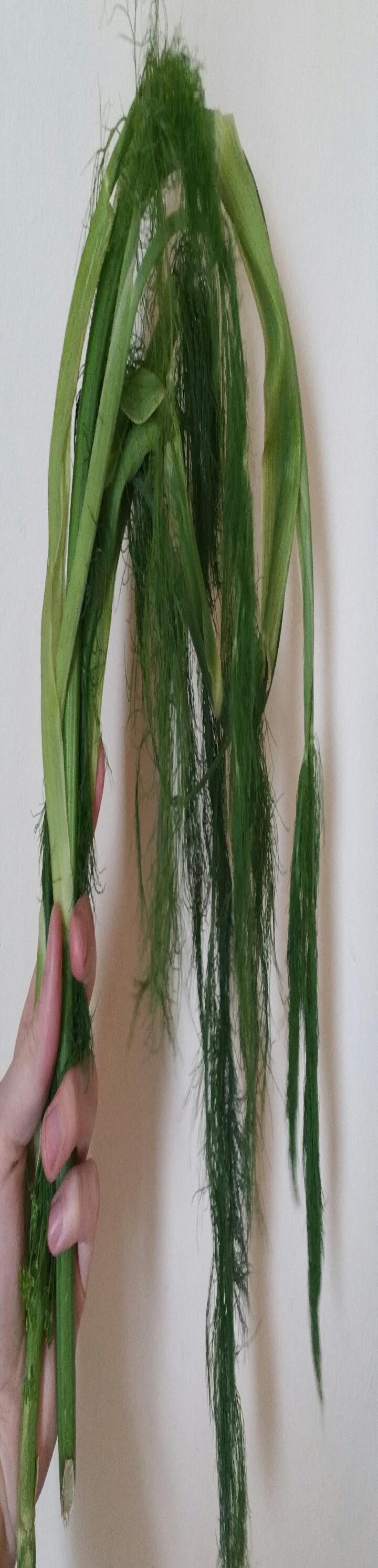 Batch of shooting fennel