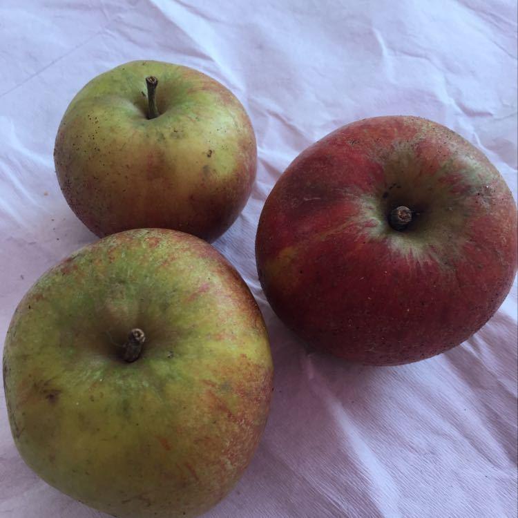 Apples X 3