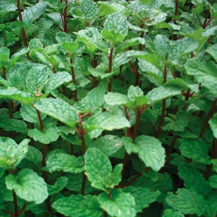 Handful of homegrown mint
