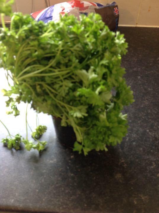Curly leaf parsley plant