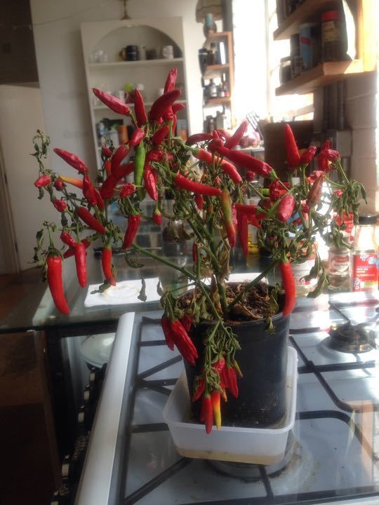 Lots of fresh red chilli 🌶