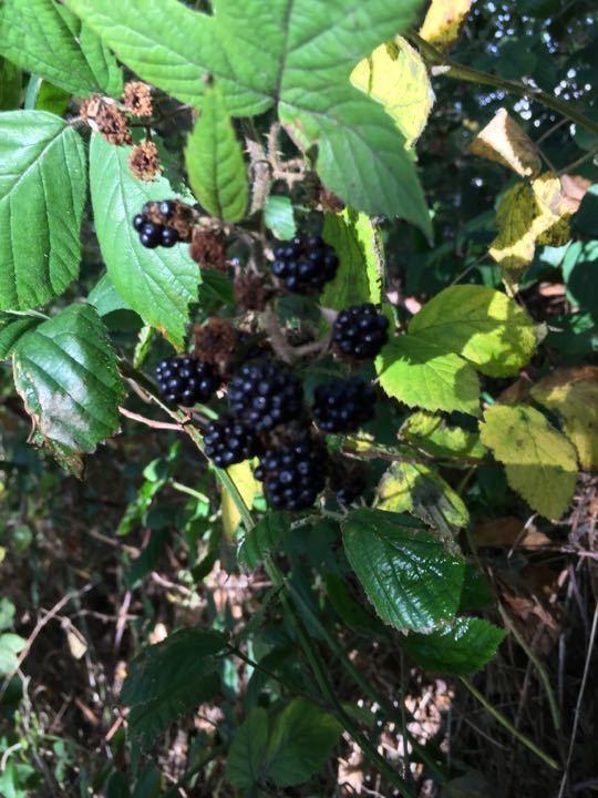 Sweet n delicious wild blackberries