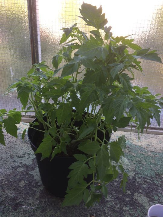 Tomatoe plants
