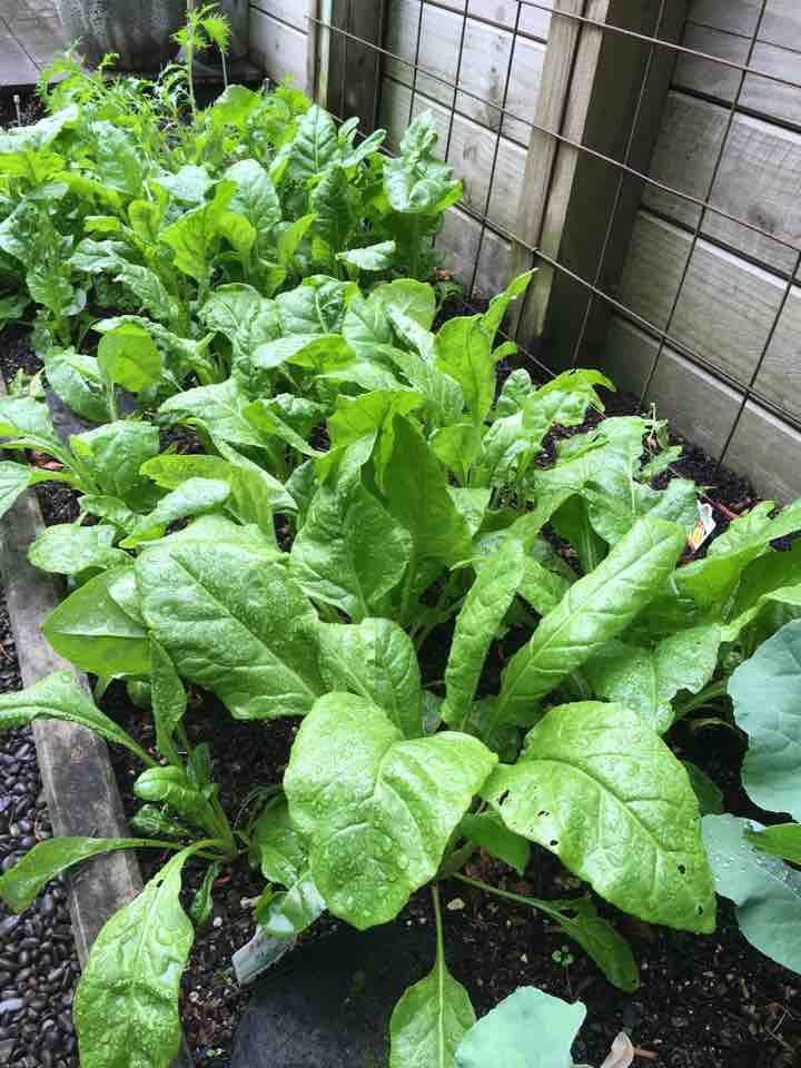 Fresh spinach