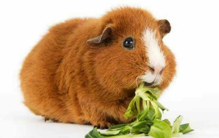 Guinea pig/Rabbit and other pet owners