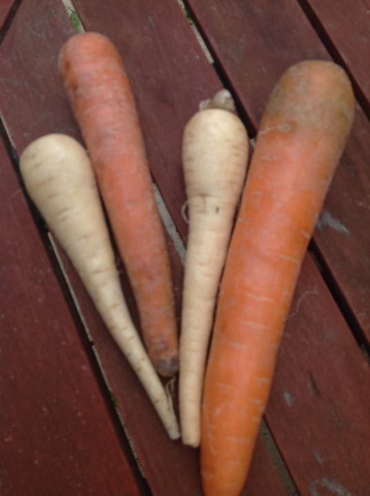 2 parsnips and 2 carrots ideal for rabbit/ chicken feed