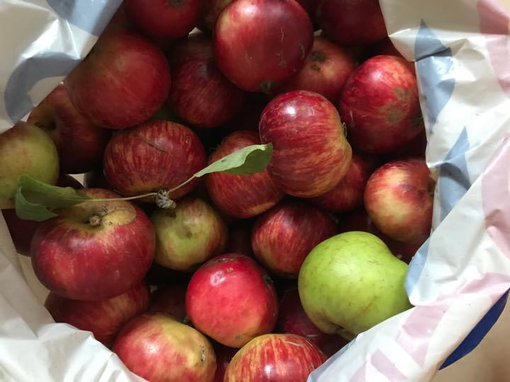 Cooking apples- freshly picked