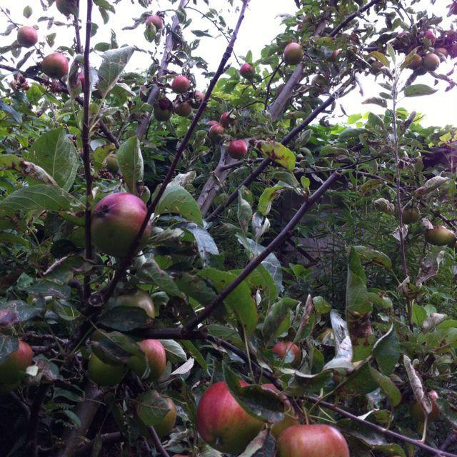 Braeburn apples from my tree