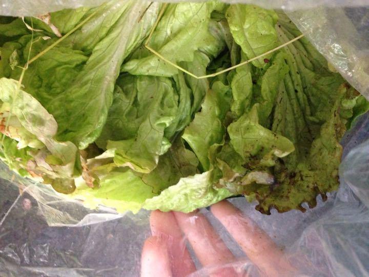 Lettuce, LOADS