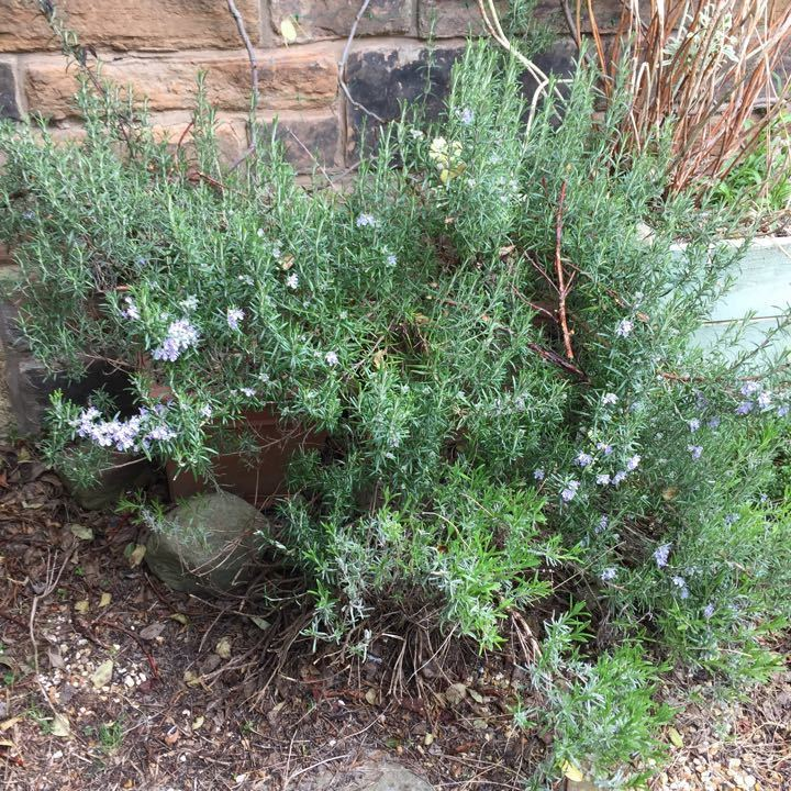 Rosemary (also sage and thyme/oregano)