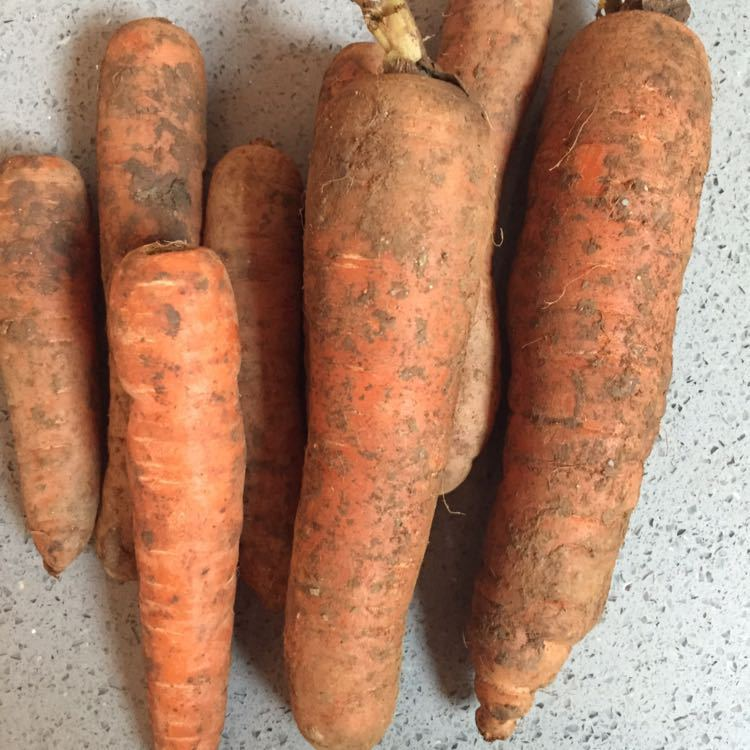 Organic Carrots from an allotment