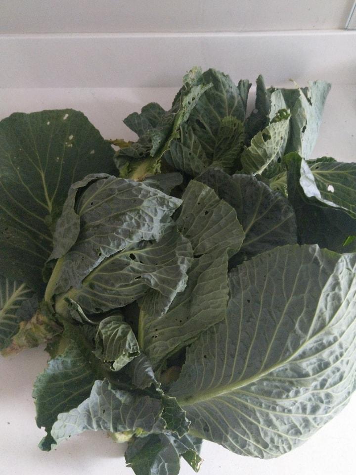 Cabbage from my garden