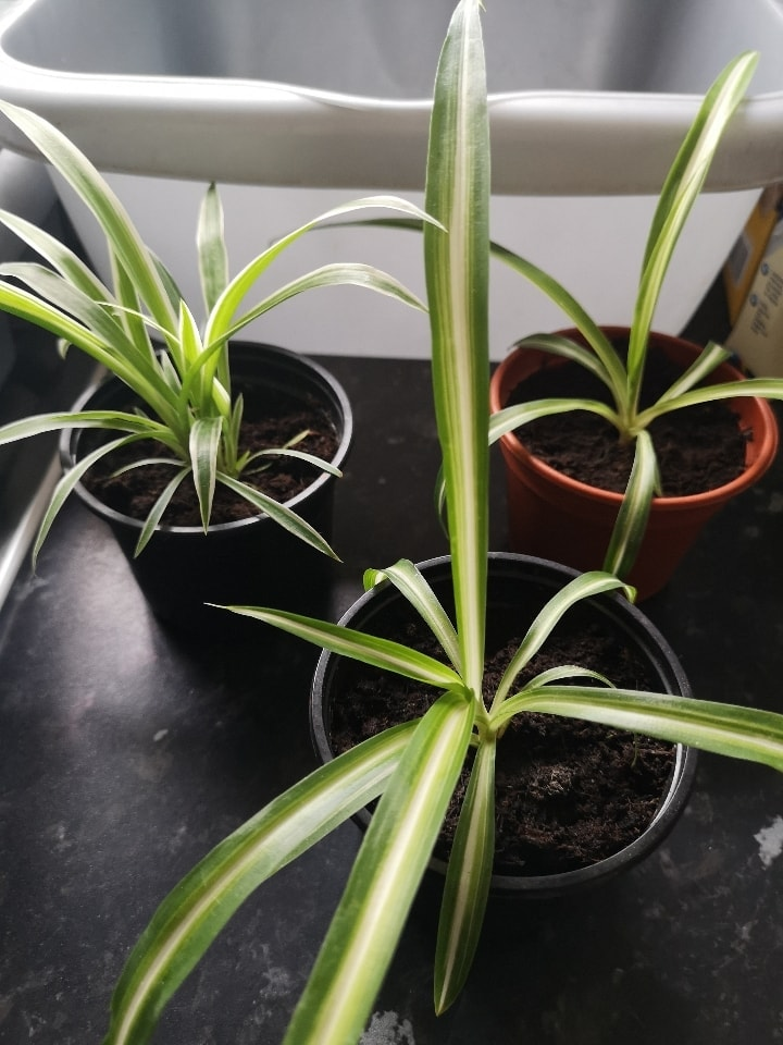 1x spider plant