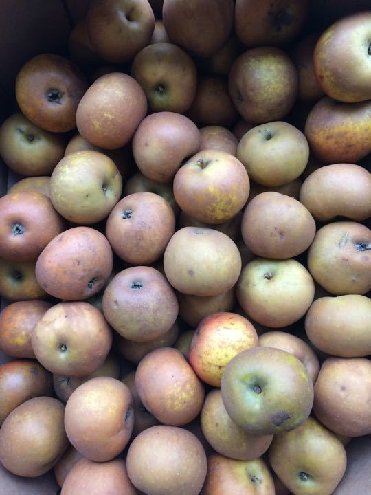 FIRST COME FIRST SERVED- organic russet apples